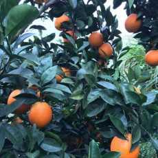 赣南脐橙 产地直销  产品图片